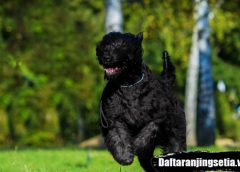 Anjing Black Russian Terrier