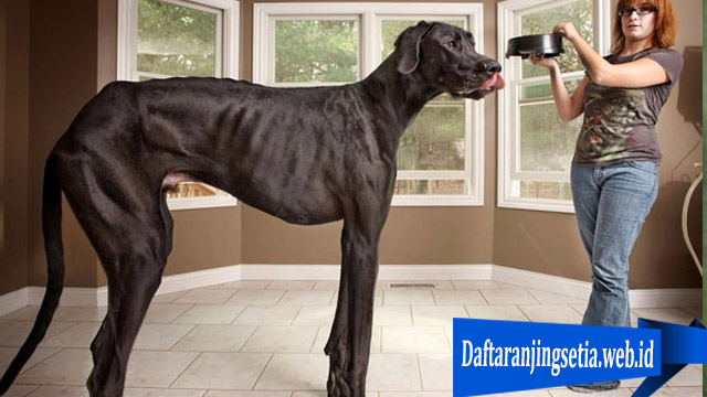 Fakta Anjing Great Dane