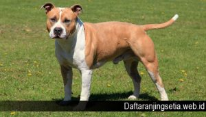 Mengenal Anjing American Staffordshire Terrier