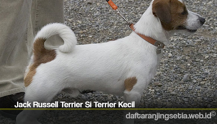 Jack Russell Terrier Si Terrier Kecil