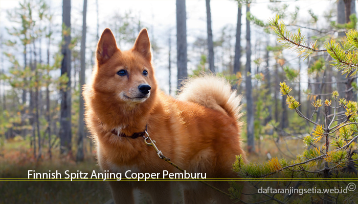 Finnish Spitz Anjing Copper Pemburu